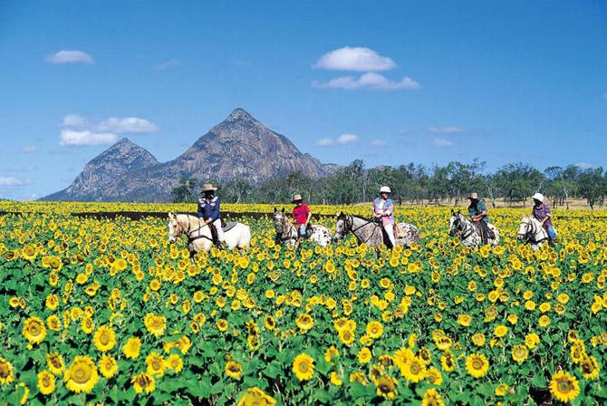 Capella Australia  city photos gallery : Capella Sunflower Fields Queensland Australia