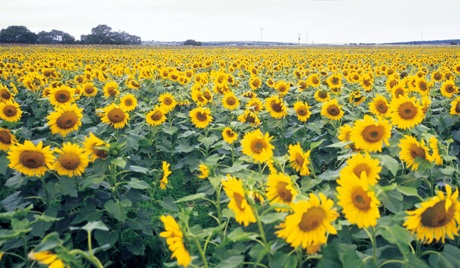 Allora Sunflowers