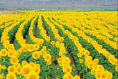 Cambooya Sunflowers
